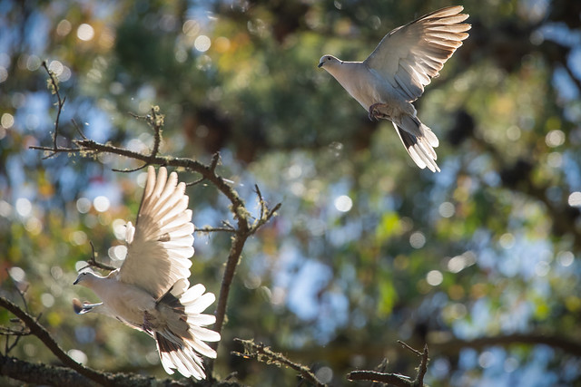 Doves Acting Lovey