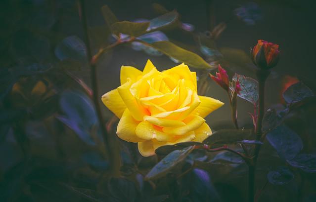 Glowing Rose