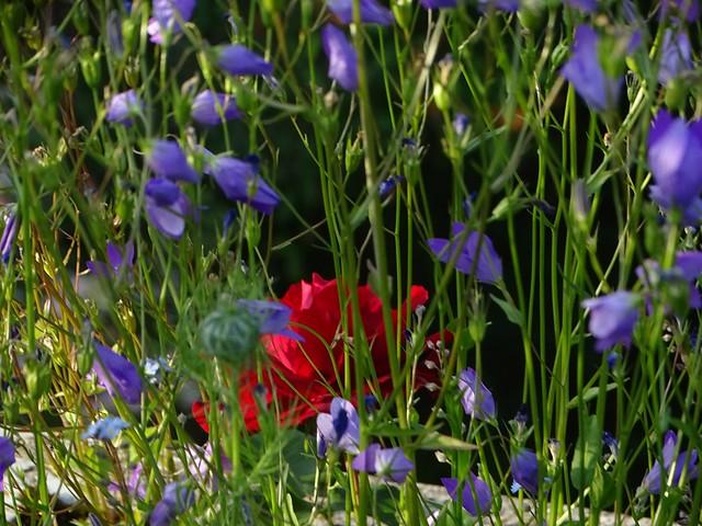 DSC03194  Rose Wildblumen
