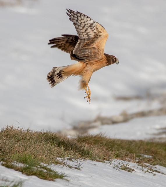 Female Harrier