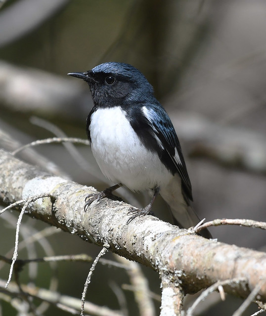 Black-throated Blue Warbler - Setophaga caerulescens