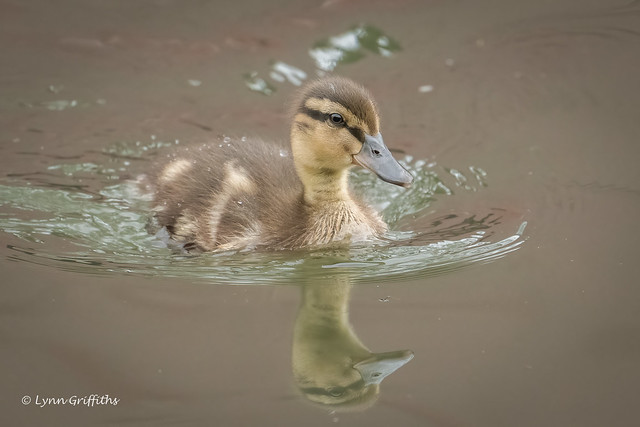 Duckling - Me and my shadow 503_1417.jpg