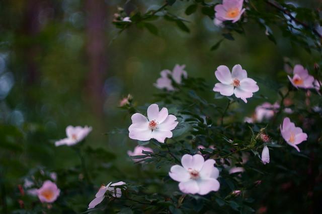 Шиповник / Wild rose (3)