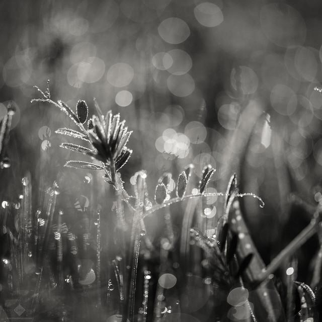 Morning Dew #7