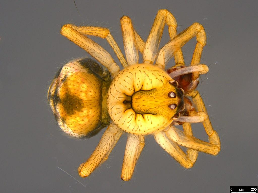 1a - Phycosoma oecobioides O. Pickard-Cambridge, 1879