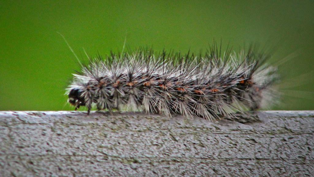 2021.04.24 La Chua Salt Marsh Caterpillar 1