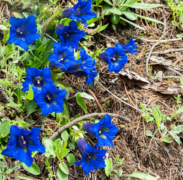 Gentiane bleue