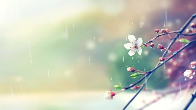 Flor de pera en la lluvia, ilustración.
