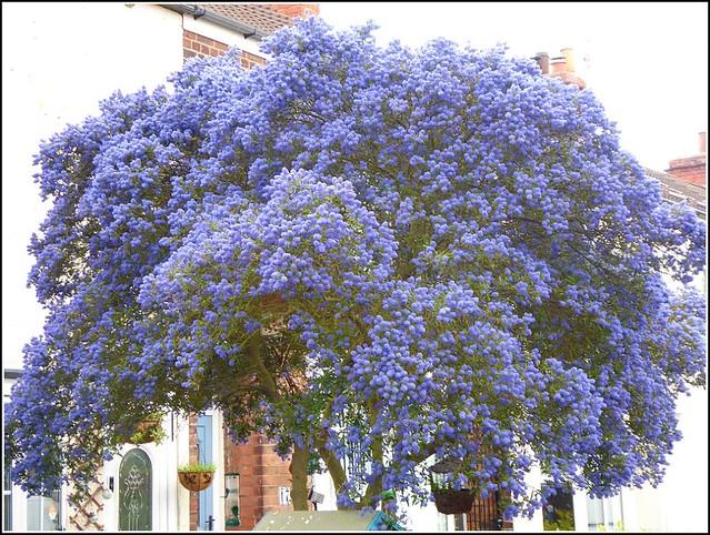 California Lilac Shrub ...