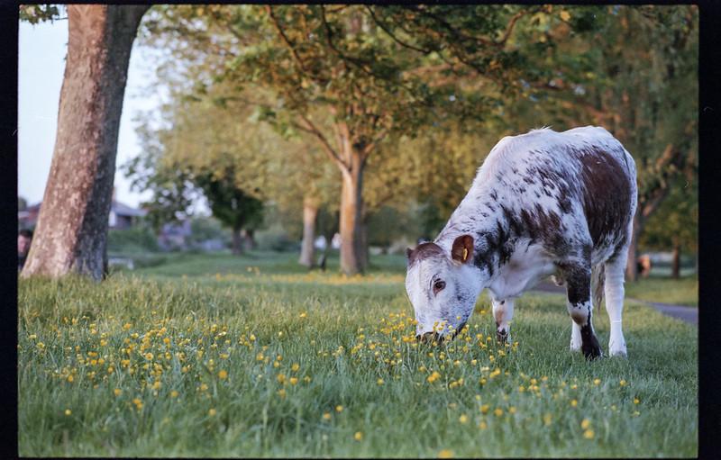 Cambridge meadows