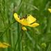 Golden Bloomed Grey Longhorn