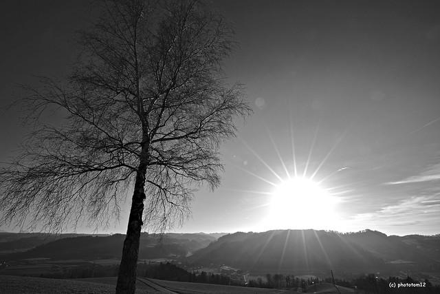 kahle Birke beim Sonnenuntergang schwarz-weiss