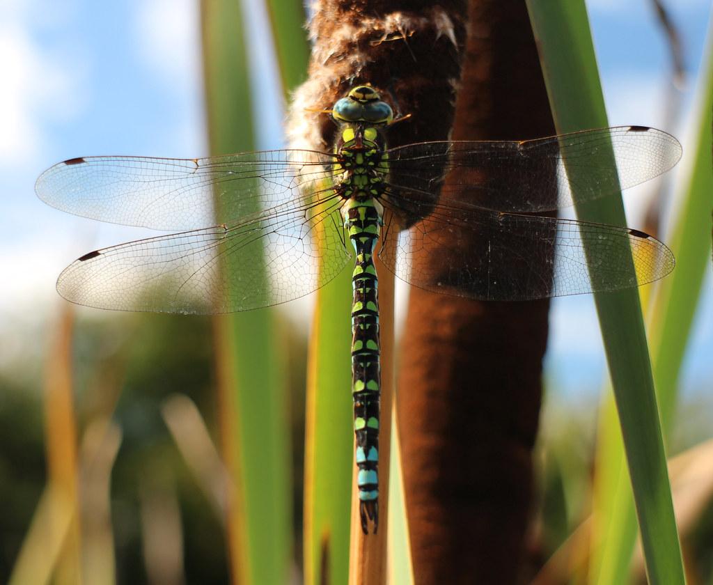 Southern Hawker Dragonfly - Warwick University Pond - 12 Sep 2015