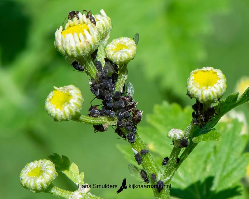 zwarte bonenluis (Aphis fabae)-850_3647
