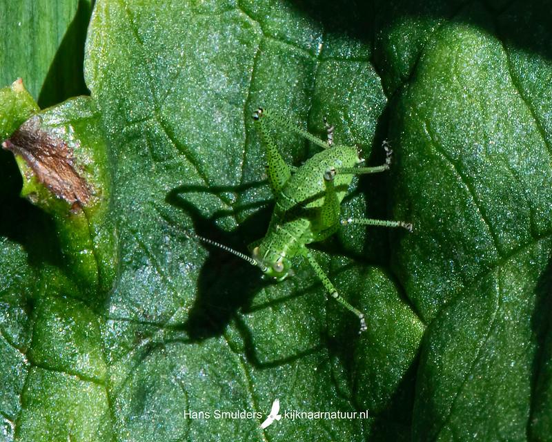 Struiksprinkhaan (Lepophyes puntatissima),-850_3596