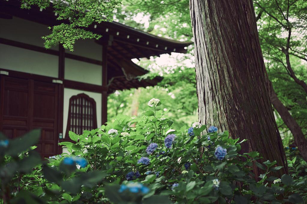 Kyoto Shin-nyo-do Temple and Hydrangea in Rain