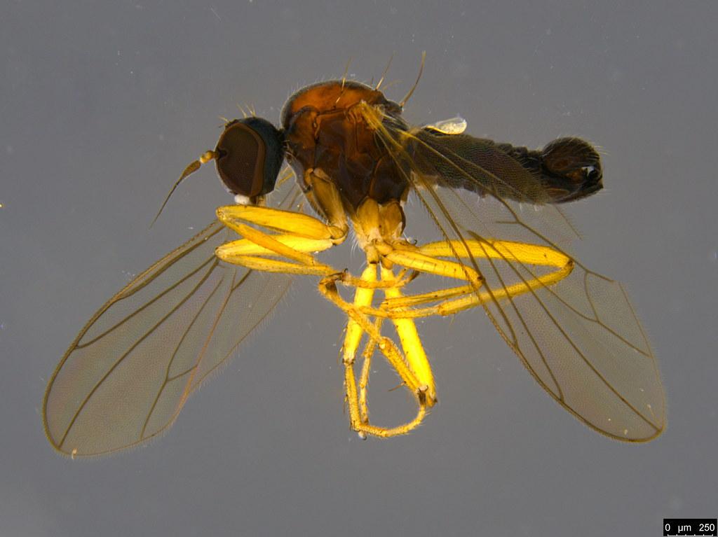 7a - Empididae sp.