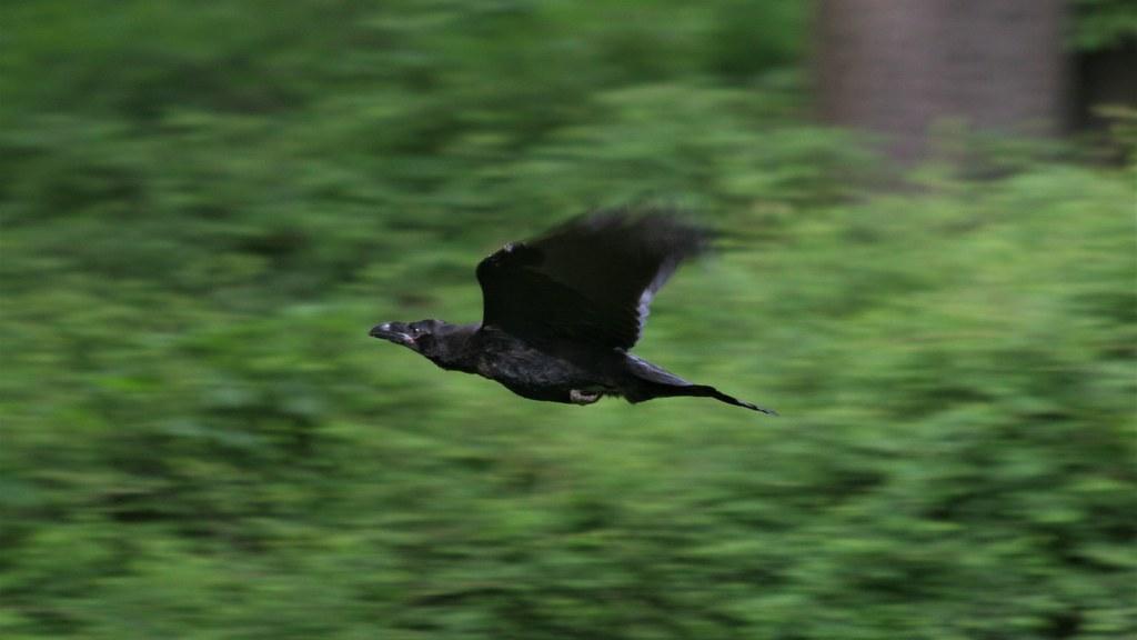 Kolkrabe (corvus corax) nahe Große Sternallee im Großen Tiergarten Straße des 17. Juni in 10557 Berlin-Tiergarten