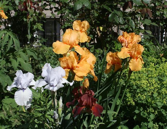 Multicoloured Irises