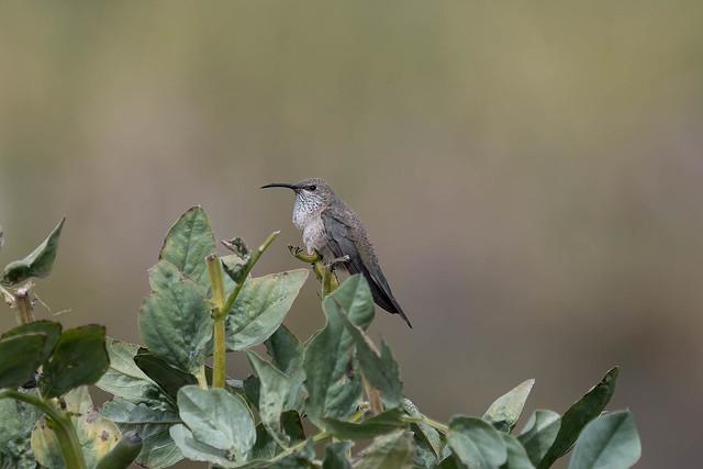 Female Andean Hillstar (Oreotrochilus estella)