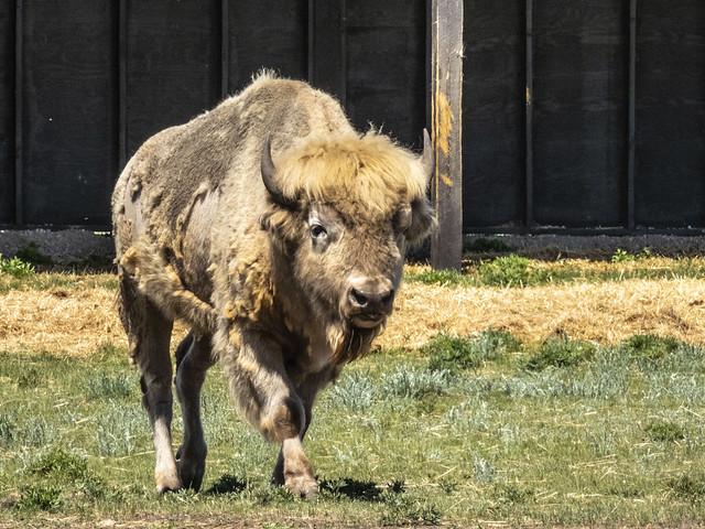 A rare white Buffalo