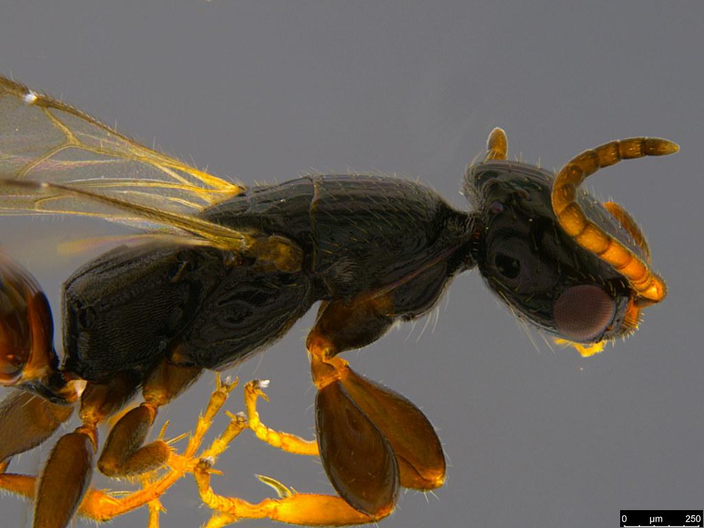 15b - Bethylidae sp.