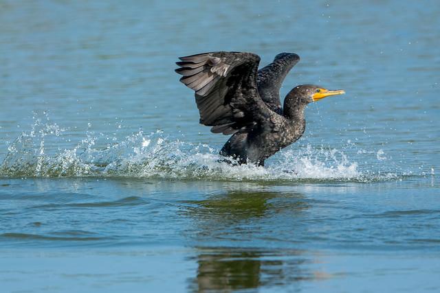 One splash of a landing {Explored}