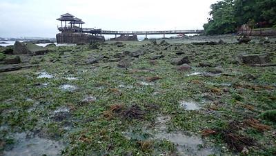 Seagrasses at Pulau Ubin South