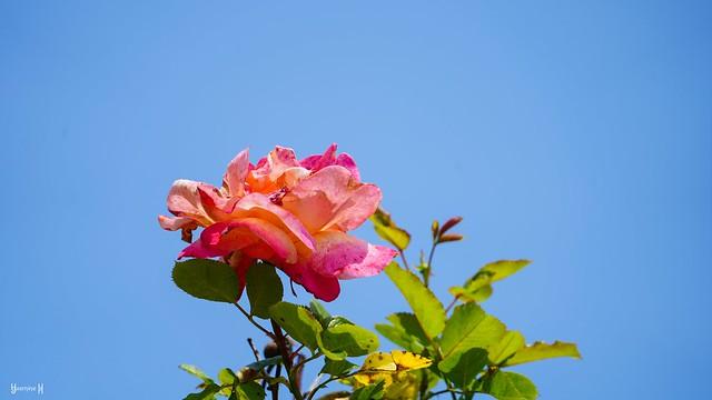 9837 - Rose