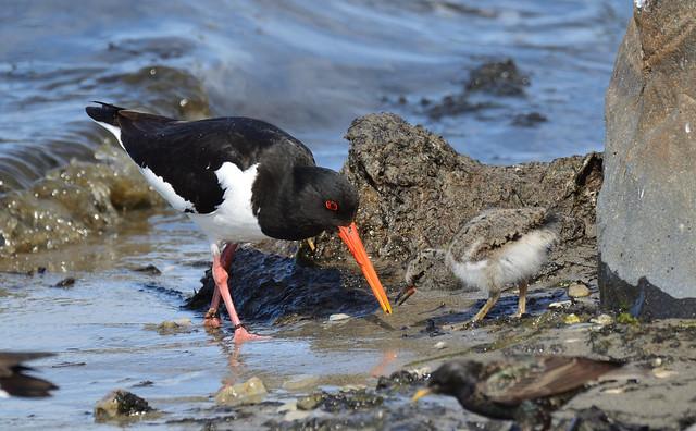 Oystercatcher feeding the chick
