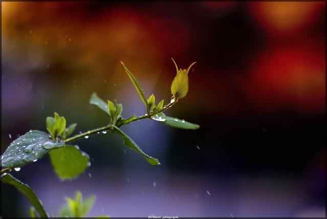 Chèvrefeuille sous la pluie