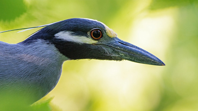 Yellow-crowned night heron ycnh_BSW3484