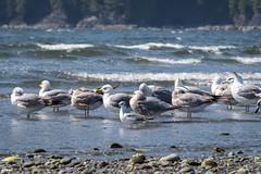 Shapes & Sizes of Gulls