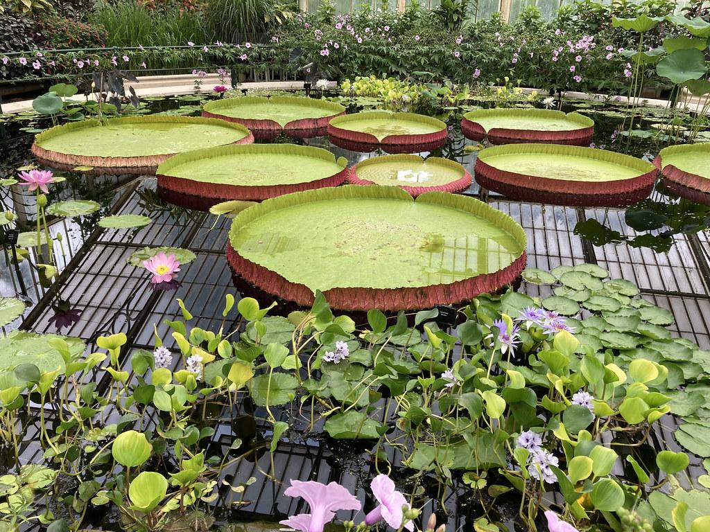 Giant Waterlily - Victoria amazonica