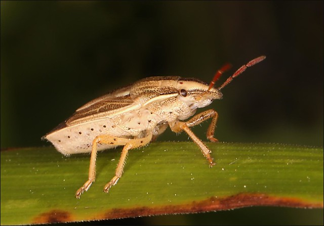 Bishop's Mitre Shieldbug - Aelia acuminata