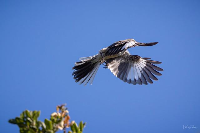 Northern Mockingbird 1/2