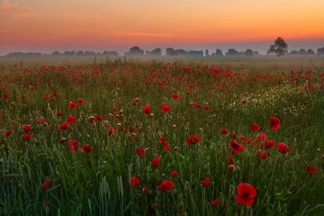 Poppy Dawn • Mohndämmerung