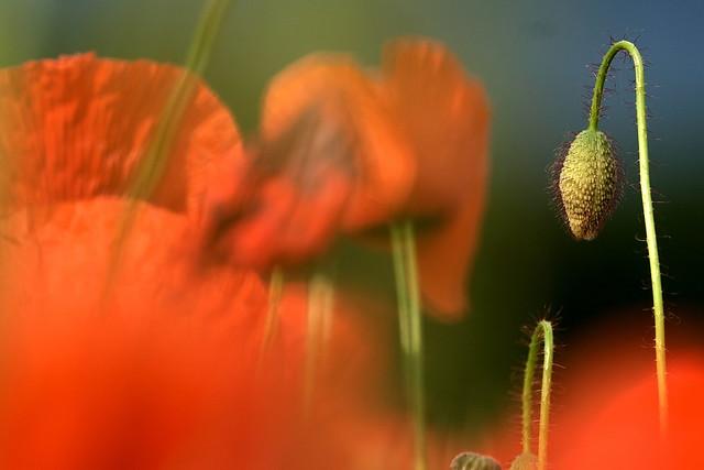 Dreaming poppy bud