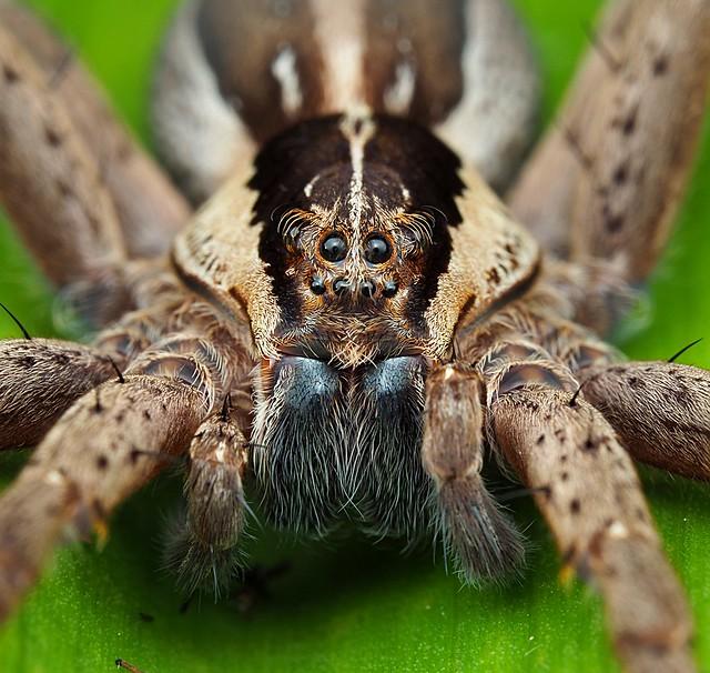 Nursery web female