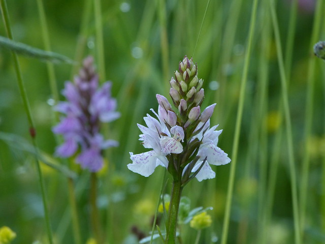 Moorland spotted ochid / Gevlekte orchis