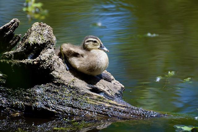 Canadian Goose Gosling 6/13/21