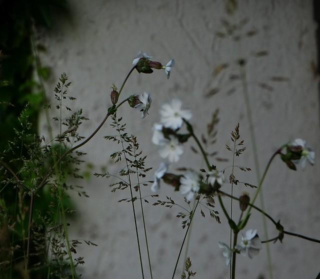 DSC03198 Gras u. Blume blühen