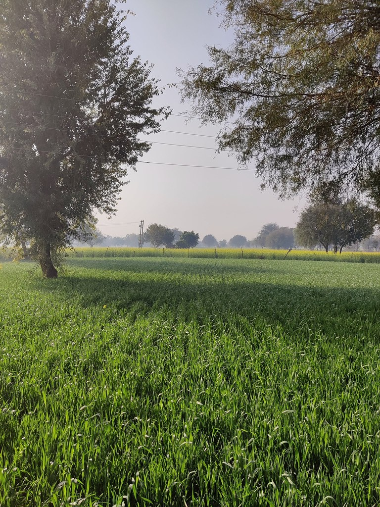 Greenfield wheat field