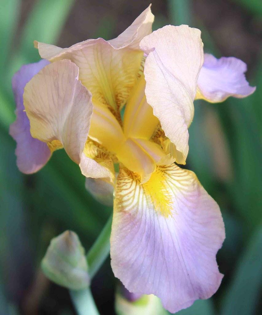 Iris Quaker Lady TB
