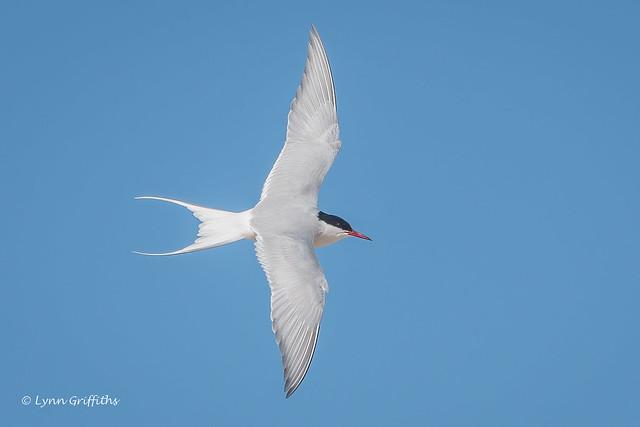 Arctic Tern 503_4374.jpg