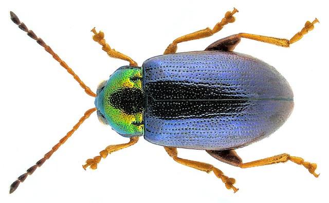 Crepidodera nitidula (Linnaeus, 1758)