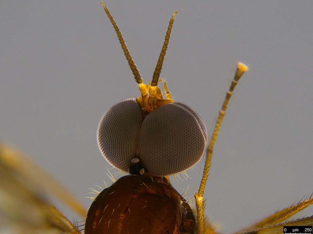 6b - Sylvicola dubius (Macquart, 1850)