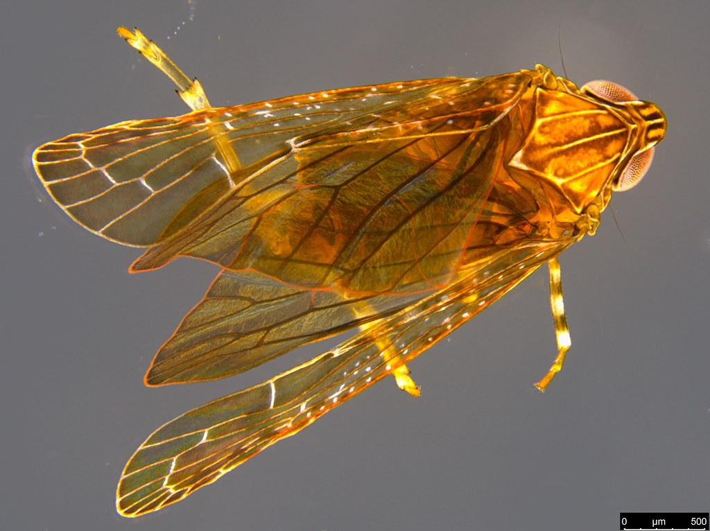 19a - Auchenorrhyncha sp.