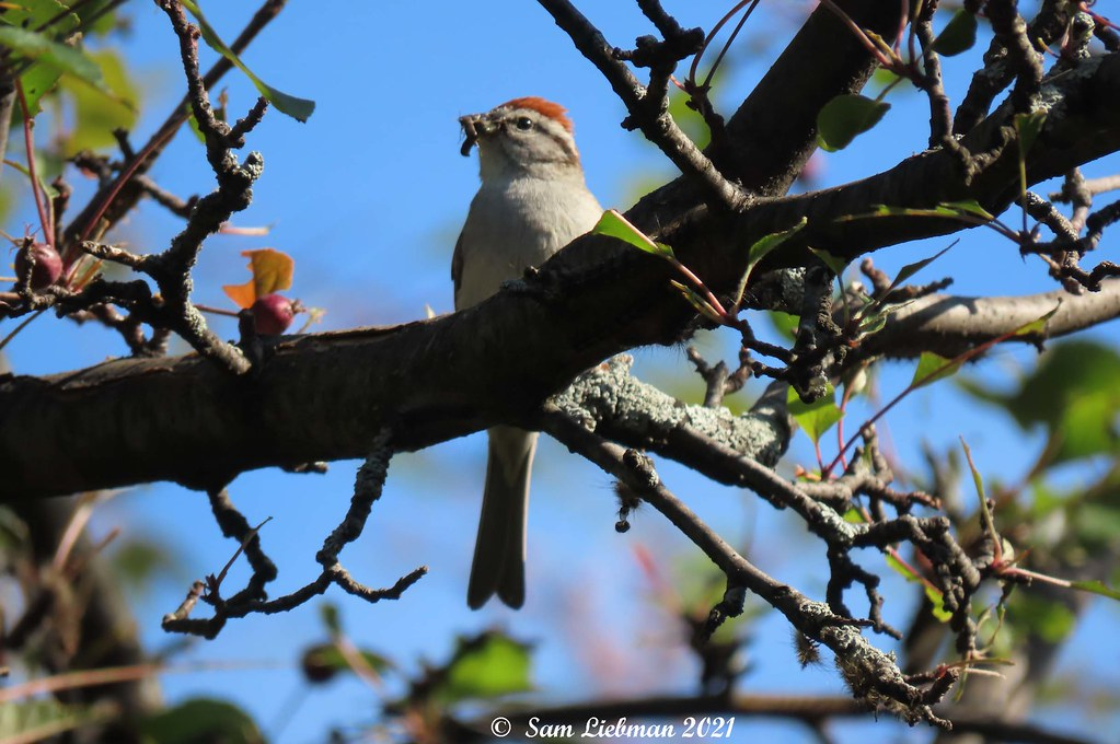 Chipping Sparrow - Bruant Familier  8063 (1).jpgS