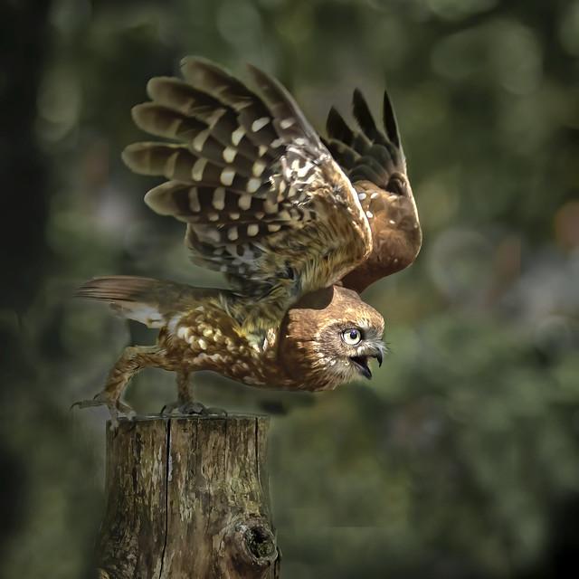 Little Owl Athene noctus